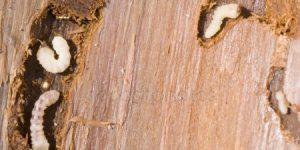 CICLO DE VIDA DE LA CARCOMA » Huevos, larvas y reproducción